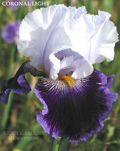 Iris CORONAL LIGHT
