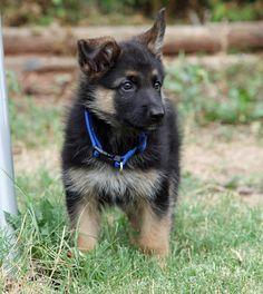Jack the German Shepherd | Puppies | Daily Puppy