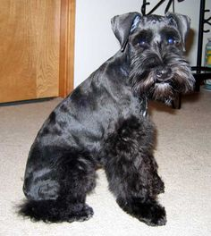 What a darling black mini schnauzer with such a adorable face
