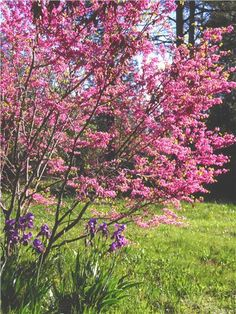 Small Landscaping Trees... Lavender Twist Redbud