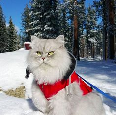 Does your cat actually thrive in the winter? Does it bring out an animalistic side of them? Does your cat look like this majestic beast?