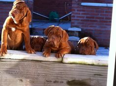 Images About Dogue De Bordeaux On Pinterest Dogue