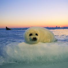 Photo by A harp seal pup waits on the ice for it's mother to return from a dive beneath the ice pack in Canada's Gulf of St. March is typically pupping season in this region,. Harp Seal Pup, Baby Harp Seal, Baby Seal, Nature Animals, Animals And Pets, Baby Animals, Funny Animals, Cute Animals, Cute Seals
