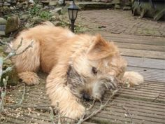 soft-coated Wheaton Terrier pup