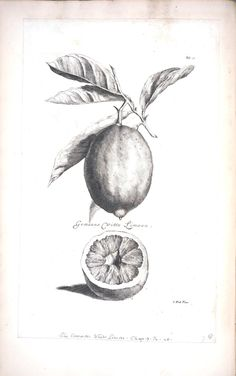 Botanical - Black and white - Fruit - Limeon 2. Need to print these on water color paper and frame