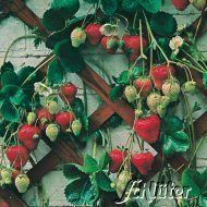 Erdbeerpflanzen / Erdbeeren pflanzen