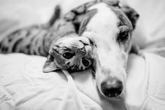 Sometimes they snuggle together. | Borys The Bengal Cat And Walter The Greyhound Are The Cutest Best Friends Ever