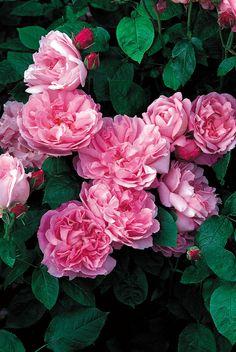 'Mary Rose'   David Austin English Rose