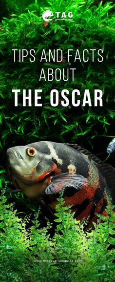 64 best oscar fish images in 2019 fish tanks beautiful fish cichlids rh pinterest com