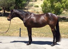 Is this cute gelding a rising Eventing star? This series will teach you how to spot eventers at the racetrack... http://eventingconnect.today/2016/07/02/assessing-whether-an-ottb-will-make-a-good-eventing-prospect-camoufleur/