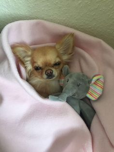 Chihuahua, Fox, Teddy Bear, Blue, Animals, Animales, Animaux, Teddy Bears, Animal