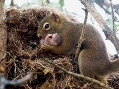 The picture shows a female red squirrel adopting an orphan baby from an abandoned nest. Although squirrels rarely interact, they learn who their nearby relatives are by hearing their unique calls. If they fail to hear a relative's calls for a few days, they may investigate and rescue orphans.  Photo: J. W. Taylor