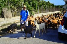 Back in time at. In Motril 2014. Sheperd with about 300 goats.