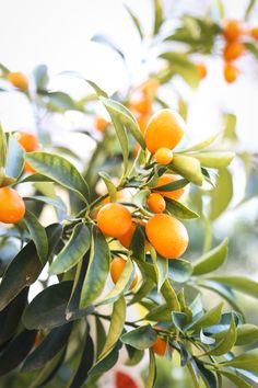 Kumquats and prosperity: Happy New Year! - Hither & Thither Kumquats and prosperity: Happy Chinese N Kumquat Tree, Citrus Trees, Fruit Trees, Fruit Fruit, Orange Fruit, Happy Chinese New Year, Happy New Year, Citrus Garden, Edible Garden
