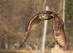Eagle Owl_XXII by deoroller