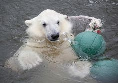 There is also a little cup now! #ranua #travel #zoo #polarbear #lapland #awesome #finland