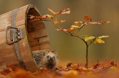 Hedgehog in a wooden bucket, surrounded by autumn leaves.