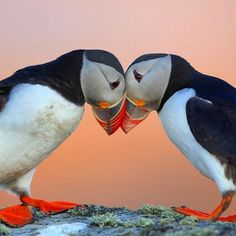 """These puffins give a new meaning to """"love birds"""". During the nesting season, Atlantic puffins remain monogamous, and some pair bonds are consistent from year to year. Sea Birds, Love Birds, Beautiful Birds, Animals Beautiful, Beautiful Pictures, Baby Animals, Cute Animals, Puffins Bird, Wild Creatures"""