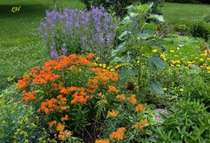 Companion Plant Ideas for Milkweed- Purple Salvia paired with Native Butterfly Weed