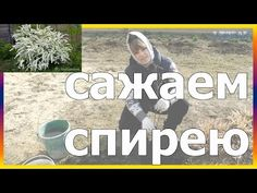 Спирея как правильно посадить как сажать спирею спирея посадка огород сад розарий цветник - YouTube