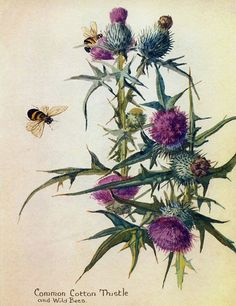 Common Cotton Thistle & Wild Bees - by Artist/Naturalist Edith Holden, Vintage Botanical Prints, Botanical Drawings, Botanical Art, Botanical Illustration, Vintage Art, Edith Holden, Deco Floral, Arte Floral, Floral Prints