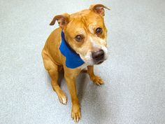 TO BE DESTROYED - 11/07/14 Manhattan Center   My name is TOTTENHAM. My Animal ID # is A1019551. ***$150 DONATION to NEW HOPE RESCUE that pulls!!*** I am a male brown and white pit bull mix. The shelter thinks I am about 8 YEARS old.  I came in the shelter as a STRAY on 11/03/2014 from NY 10029, owner surrender reason stated was STRAY.