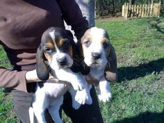 Basset Hound Pups---- Aren't they cute.