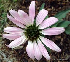 Echinacea - 'Lucky Star'