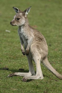 Cute kangaroo. ❤