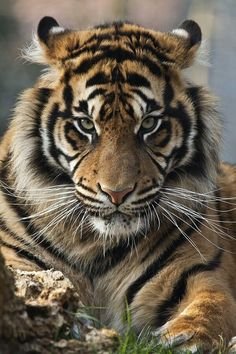 Tiger Tiger Red Flower✴♦