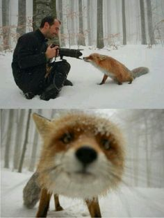 A Fox sniffing a camera. This photo is by Cristian Goga and shows romanian nature photographer Dan Dinu in action.