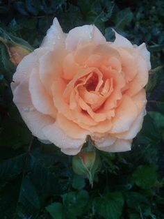 A beautiful rose compliments every garden! Don't forget to check the post for a wonderful quote!