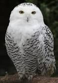 owls - Google Search