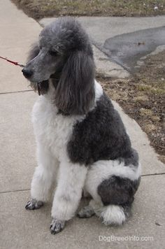Standard Poodle  The Standard Poodle is a medium- to large-sized dog. When groomed to show dog standards the body is meant to give off a square appearance. http://www.topdogumentary.com/standard-poodle/