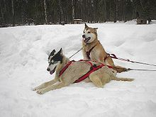 Alaskan Huskies! I'm going to own a whole team of them someday!