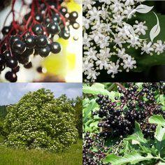 Χρήσιμες ιατρικές συνταγές με Σαμπούκο Beautiful Dream, Native Plants, Blackberry, Parrot, Seeds, Fruit, Maine, Google Search, Parrot Bird