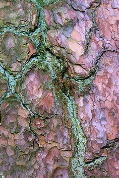 Pine tree bark with lichen
