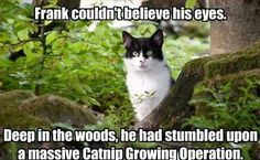 Frank couldn't believe his eyes deep in the woods he had stumbled upon a massive catnip growing operation Funny Cats, Funny Animals, Cute Animals, Funny Horses, Crazy Cat Lady, Crazy Cats, I Love Cats, Cool Cats, Here Kitty Kitty