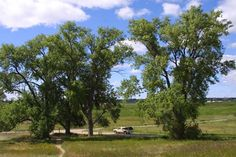 Charles Ingalls planted these four cottonwood trees in 1880 when the family lived on this homestead, a few miles outside of De Smet, South Dakota.
