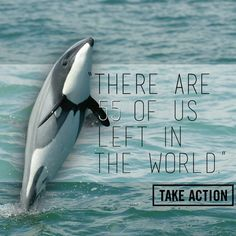 Endangered Maui dolphin New Zealand - Stand with organizations like the World Wildlife Fund and urge New Zealand's Prime Minister, John Key, to protect these precious creatures from extinction!