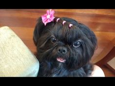 Tutorial: Penteado em cão de pelo longo (shihtzu, Maltez, York, Lhasa...)