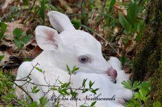 Albino faun