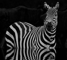 Zebra, Zebras are several species of African equids (horse family) united by their distinctive black and white stripes. Their stripes come in different patterns, unique to each individual. There are three species of zebras: the plains zebra, the Grévy's zebra and the mountain zebra. various anthropogenic factors have had a severe impact on zebra populations, in particular hunting for skins and habitat destruction. Grévy's zebra and the mountain zebra are endangered.