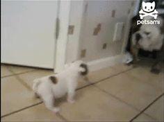 baby bull dog scares away big mama