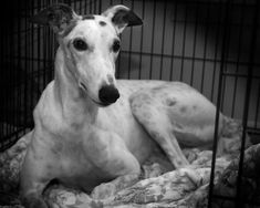 Greyhounds are having their hearts ripped out in cruel scientific experiments. Help prohibit the use of these dogs in all medical and scientific research.