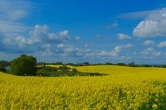 Rapsblüte Uckermark • Panorama