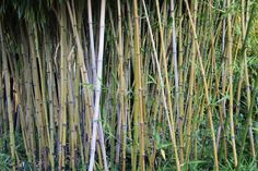2015-08-21: bamboo grove