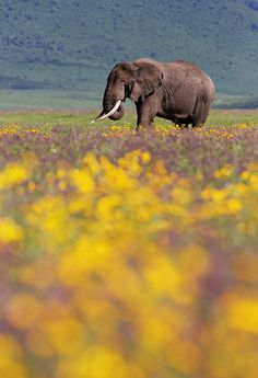 Elephant in Ngorongoro crater by Michal Jirouš on 500px