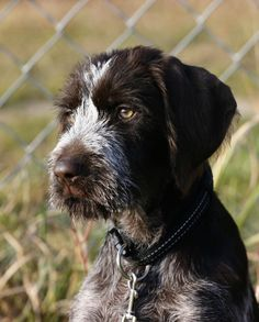 Wicked Training Your German Shepherd Dog Ideas. Mind Blowing Training Your German Shepherd Dog Ideas. Pointer Puppies, Dogs And Puppies, Ugly Dogs, German Wirehaired Pointer, Puppy Classes, German Shepherd Puppies, German Shepherds, Best Dog Training, Dog Activities