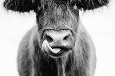"""""""Highlanders in the Hinterland"""" is a new fine art photography series, in collaboration with The Farm Byron Bay and their Highland Scottish cows. These cows have an individual personality and spirit and inquisitive nature that is truly worth exploring."""